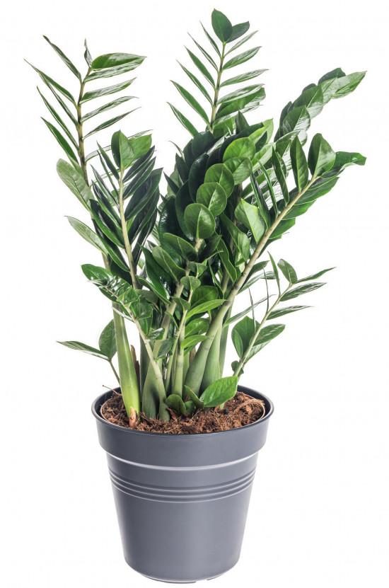 Kulkas zamiolistý, Zamioculcas zamiifolia, průměr květináče 24 cm-7476