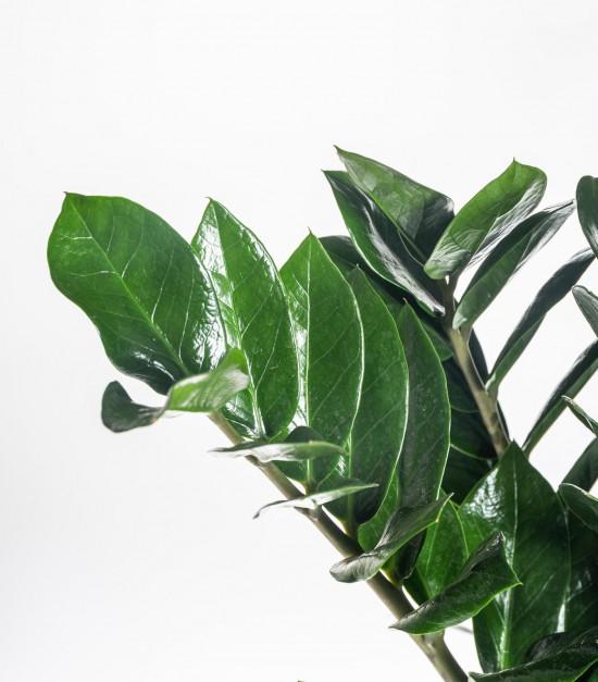 Kulkas zamiolistý, Zamioculcas zamiifolia, průměr květináče 24 cm-7477