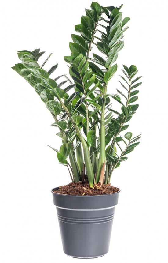 Kulkas zamiolistý, Zamioculcas zamiifolia, průměr květináče 27 cm-7493