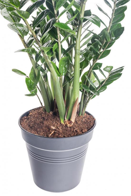 Kulkas zamiolistý, Zamioculcas zamiifolia, průměr květináče 27 cm-7494