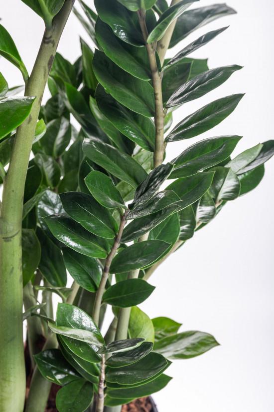 Kulkas zamiolistý, Zamioculcas zamiifolia, průměr květináče 27 cm-7495