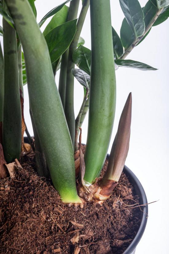 Kulkas zamiolistý, Zamioculcas zamiifolia, průměr květináče 27 cm-7496
