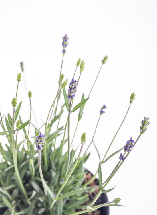 Levandule lekařská, Lavandula angustifolia Hidcote, průměr květináče 13 - 14 cm-10202