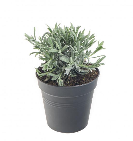 Levandule lékařská, Lavandula angustifolia, v květináči