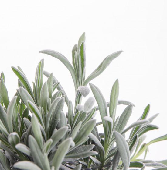 Levandule lékařská, Lavandula angustifolia, v květináči-8127