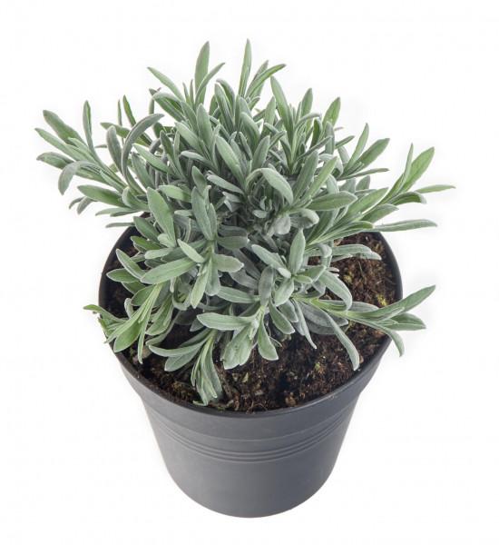 Levandule lékařská, Lavandula angustifolia, v květináči-8128