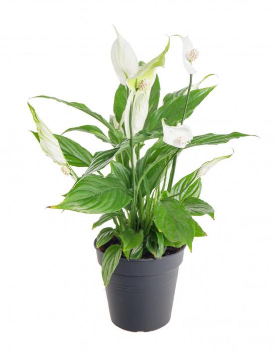 Lopatkovec, Spathiphyllum, průměr květináče 10 - 12 cm-11003