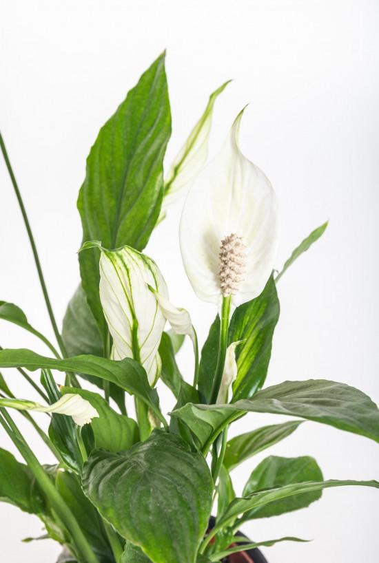 Lopatkovec, Spathiphyllum, průměr květináče 10 - 12 cm-11004