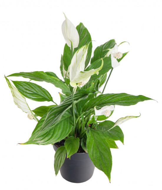 Lopatkovec, Spathiphyllum, průměr květináče 10 - 12 cm-11005