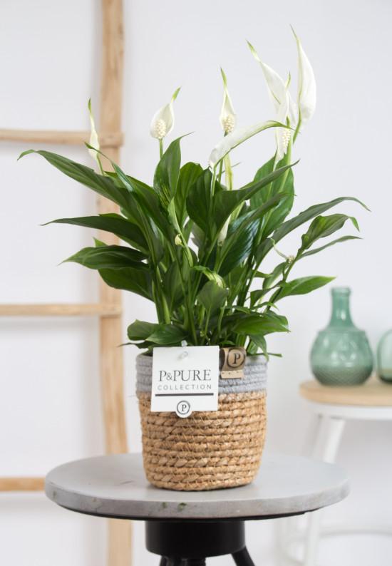 Lopatkovec, Spathiphyllum, průměr květináče 10 - 12 cm-1705