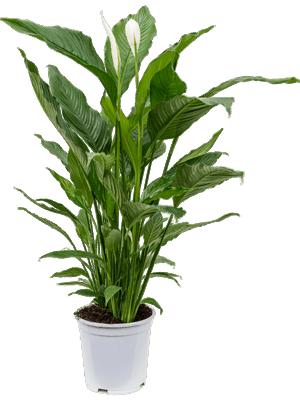 Lopatkovec, Spathiphyllum, průměr květináče 21 cm