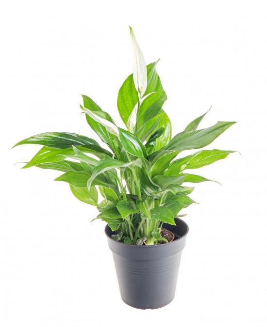 Lopatkovec, Spathiphyllum, průměr květináče 7 - 9 cm-9328