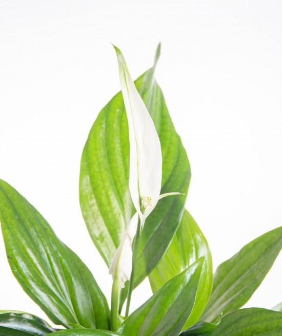 Lopatkovec, Spathiphyllum, průměr květináče 7 - 9 cm-9329