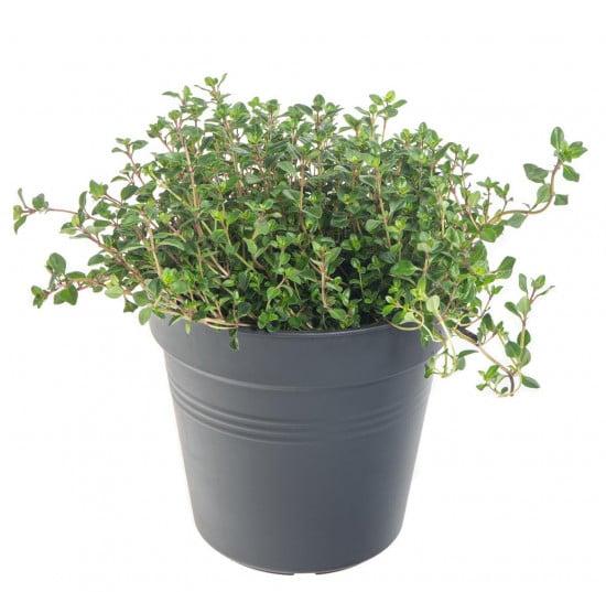 Mateřídouška úzkolistá, Thymus serphyllum, v květináči