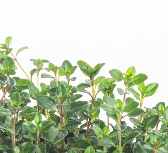 Mateřídouška úzkolistá, Thymus serphyllum, v květináči-8090