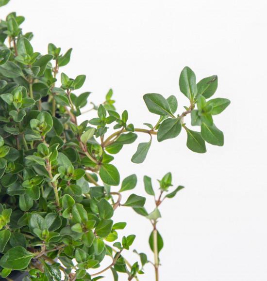 Mateřídouška úzkolistá, Thymus serphyllum, v květináči-8091