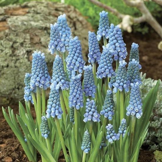 Modřenec, Muscari, modrý, rychlený, květináč 13 cm-5695