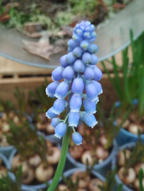 Modřenec, Muscari, modrý, rychlený, květináč 13 cm-5708