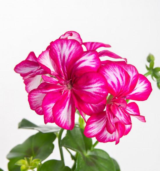 Muškát převislý, Pelargonium peltatum, bílo - růžový, průměr květináče 10 - 12 cm-9099