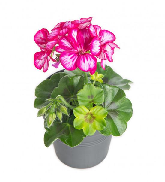 Muškát převislý, Pelargonium peltatum, bílo - růžový, průměr květináče 10 - 12 cm-9100