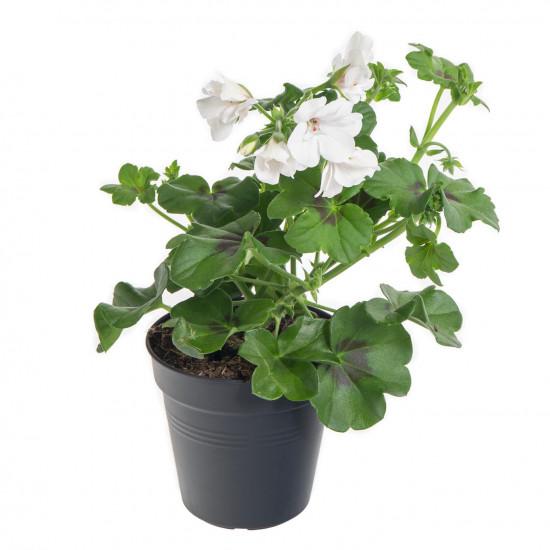 Muškát převislý, Pelargonium peltatum, bílý, průměr květináče 10 - 12 cm