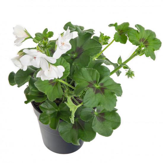 Muškát převislý, Pelargonium peltatum, bílý, průměr květináče 10 - 12 cm-7548