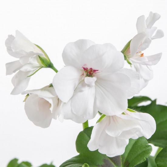 Muškát převislý, Pelargonium peltatum, bílý, velikost květináče 10 - 12 cm-7549