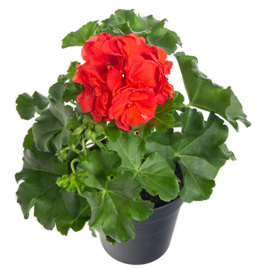 Muškát převislý, Pelargonium peltatum, červený, průměr květináče 10 - 12 cm-7545