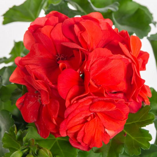 Muškát převislý, Pelargonium peltatum, červený, průměr květináče 10 - 12 cm-7546