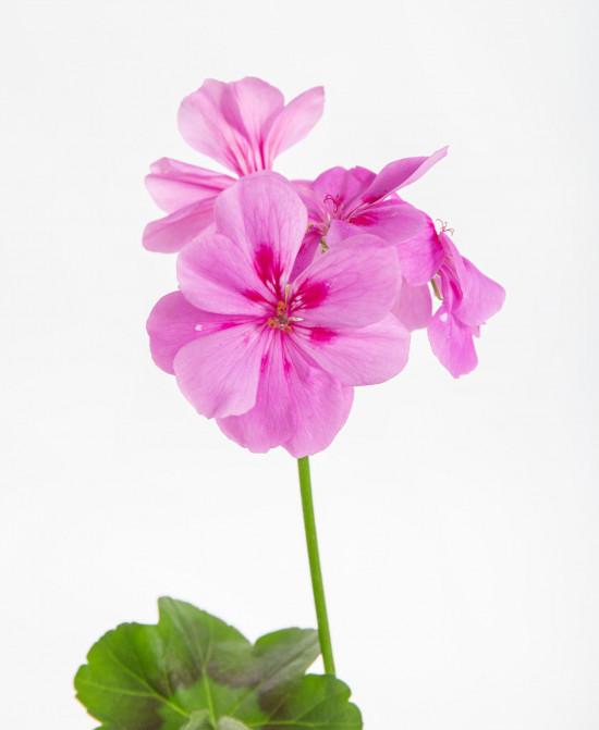 Muškát převislý, Pelargonium peltatum, fialový, velikost květináče 10 - 12 cm-9208