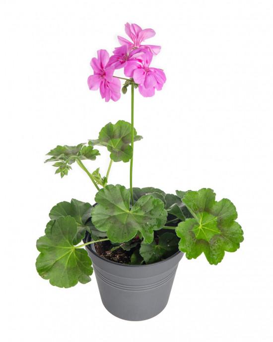 Muškát převislý, Pelargonium peltatum, fialový, velikost květináče 10 - 12 cm-9209