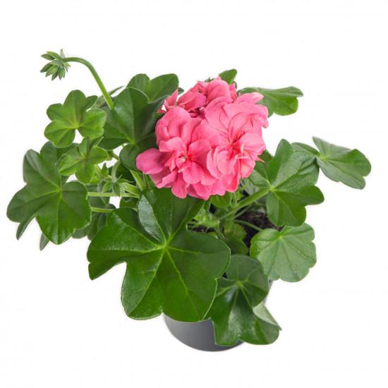 Muškát převislý, Pelargonium peltatum, světle růžový, průměr květináče 10 - 12 cm-7551