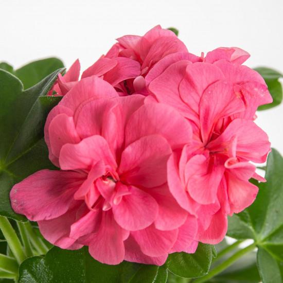 Muškát převislý, Pelargonium peltatum, světle růžový, velikost květináče 10 - 12 cm-7552