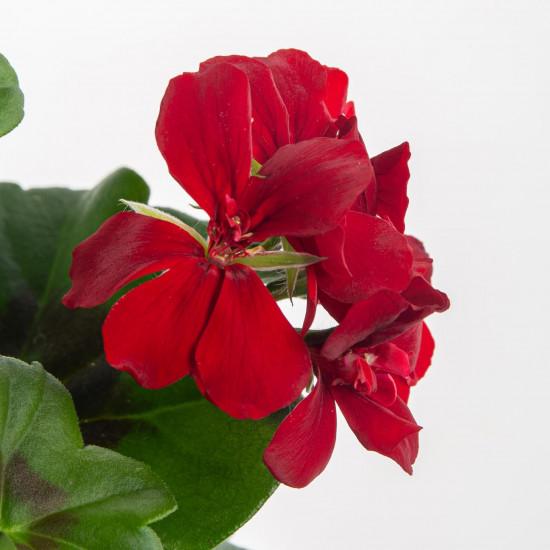 Muškát převislý, Pelargonium peltatum, vínový, velikost květináče 10 - 12 cm-7555