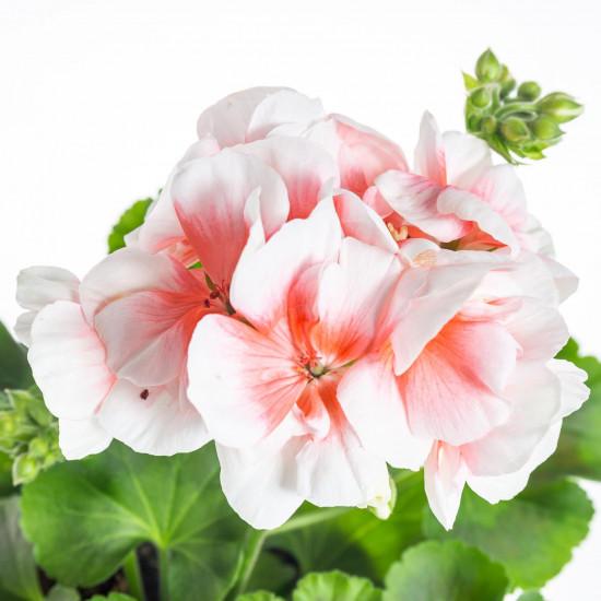 Muškát vzpřímený, Pelargonium zonale, bílo - oranžová, velikost květináče 10 - 12 cm-7540
