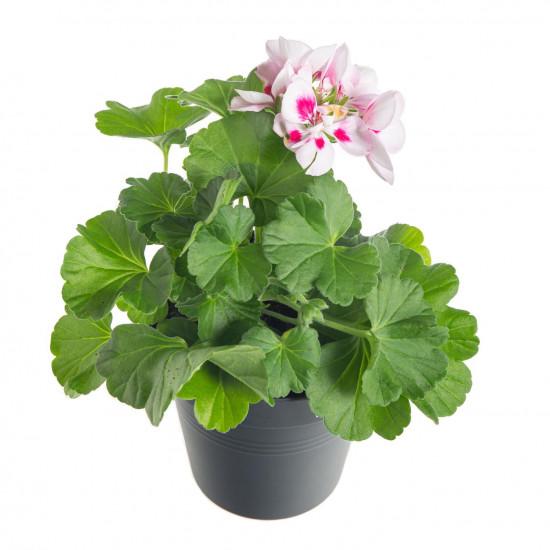 Muškát vzpřímený, Pelargonium zonale, bílo - růžový, průměr květináče 10 - 12 cm-7527