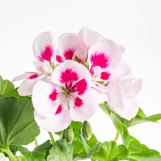 Muškát vzpřímený, Pelargonium zonale, bílo - růžový, velikost květináče 10 - 12 cm-7528