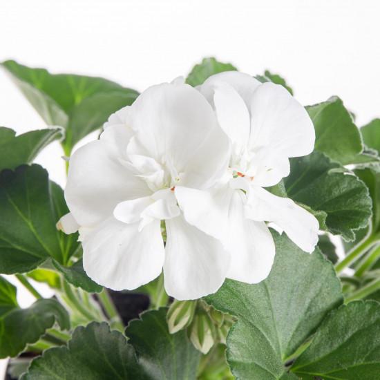 Muškát vzpřímený, Pelargonium zonale, bílý, průměr květináče 10 - 12 cm-7522