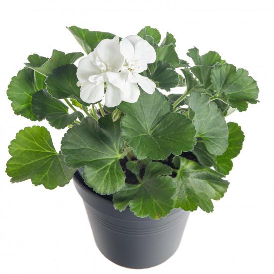 Muškát vzpřímený, Pelargonium zonale, bílý, velikost květináče 10 - 12 cm-7521
