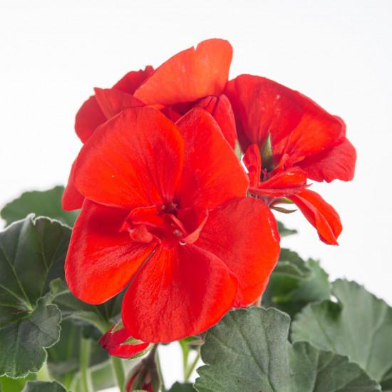 Muškát vzpřímený, Pelargonium zonale, červený, velikost květináče 10 - 12 cm-7519