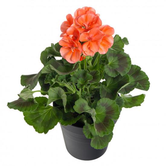 Muškát vzpřímený, Pelargonium zonale, oranžový, průměr květináče 10 - 12 cm-7533