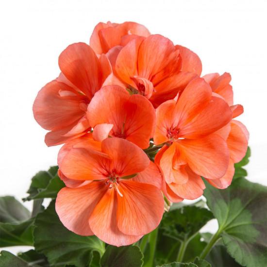 Muškát vzpřímený, Pelargonium zonale, oranžový, průměr květináče 10 - 12 cm-7534