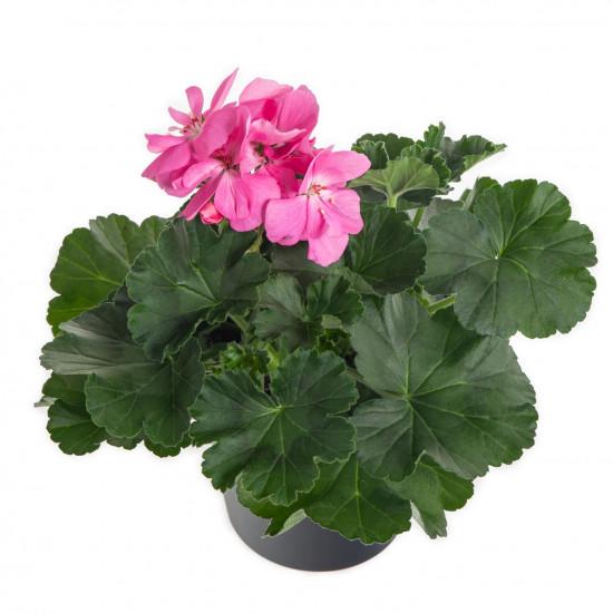 Muškát vzpřímený, Pelargonium zonale, světle růžový, průměr květináče 10 - 12 cm-7530