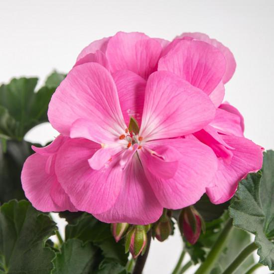 Muškát vzpřímený, Pelargonium zonale, světle růžový, průměr květináče 10 - 12 cm-7531