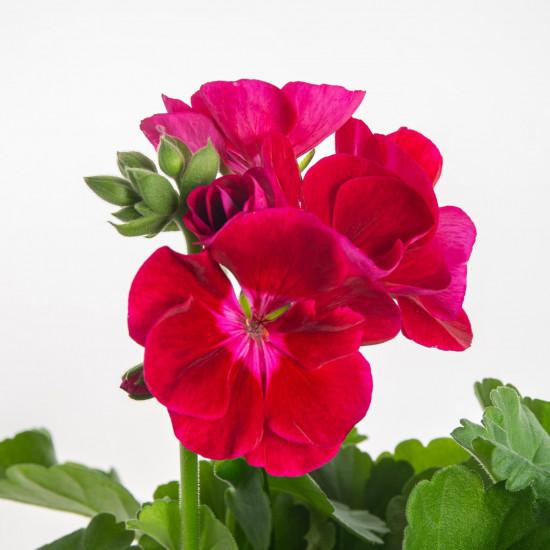 Muškát vzpřímený, Pelargonium zonale, vínový, průměr květináče 10 - 12 cm-7543
