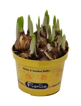 Narcis Tete-a-Tete, žlutý, rychlený, květináč 12 cm-5678