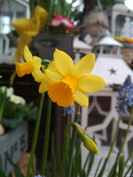 Narcis Tete-a-Tete, žlutý, rychlený, květináč 9 cm-5714