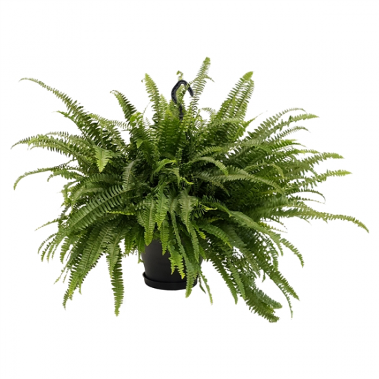 Nephrolepis exaltata - Ledviník závěsná rostlina-3335
