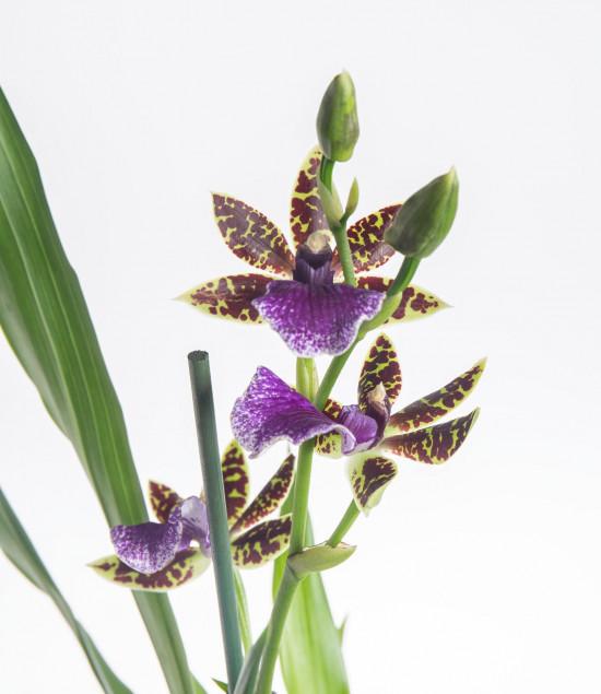 Orchidej Chomoutovka, Zygopetalum, 1 výhon-7291