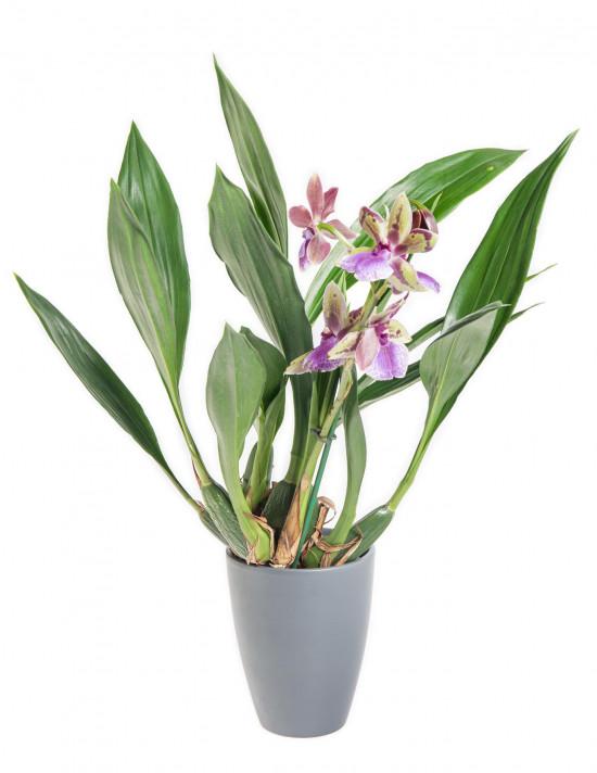 Orchidej Chomoutovka, Zygopetalum, 1 výhon-9029